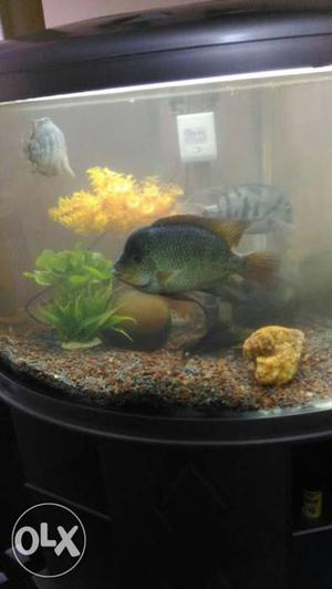 Display tank fish's 2 Texas fish 8inch 1 fish with hed 6inch
