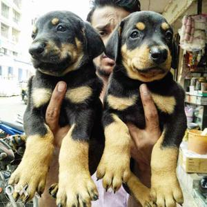 Doberman black tan puppies sell pure breed top