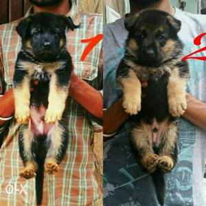 Excellent quality German Shepherd female puppies avilable