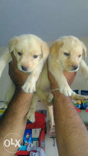 Fimale Labrador puppies available for sale