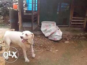 Kci Labrador female for sale 2 year in