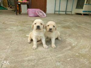 Labrador female puppies available... all breed