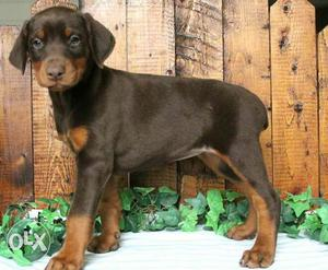 Quality puppy available each puppy price