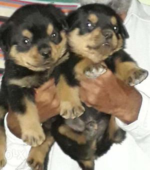 Rottweiler puppies available all breeds puppies
