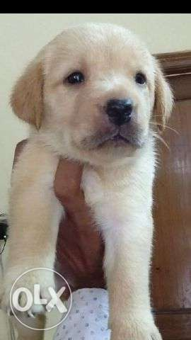 Show quality labrador puppies available nd all breeds