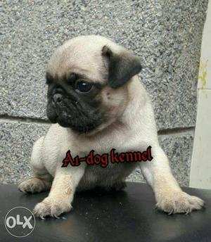Show quality pug puppy selling Male 35day old