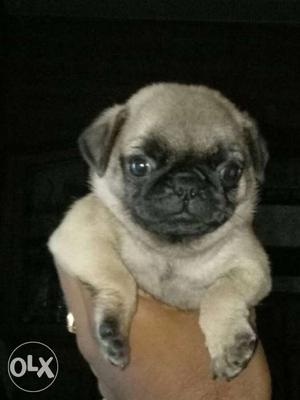 Top quality pug puppy for sale
