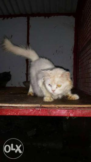 Urgent sale 1 piece only white and grey cats karicode
