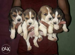 Beagle male pure breed puppies for sale in Delhi