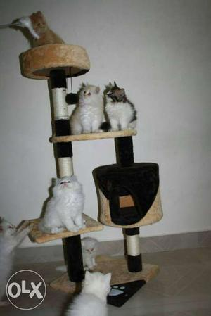 Cute and fluffy persian kittens available
