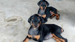 Doberman female puppies available for  hurry