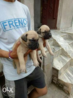 Fawn colour bull puppies available mastiff breed