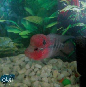 Flowerhorn fish with good health