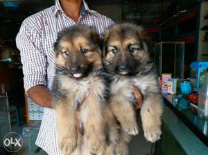 Gsd female puppies available for sale. Puppies r fully