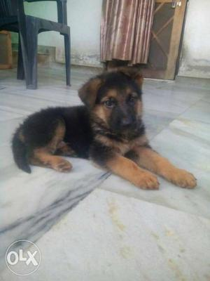 Gsd puppies available for show home. pupps r full