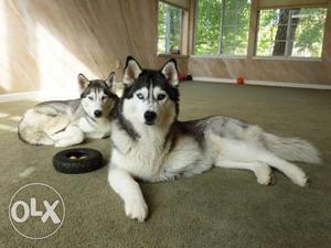 Husky,labrador,gsd,Golden Retriever and all type top quality