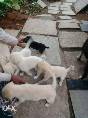 Labs puppys