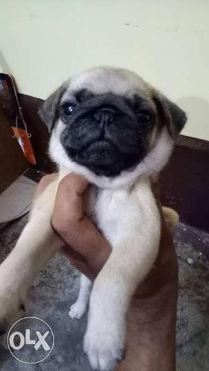 Pug puppies 45 days old home breed,gud
