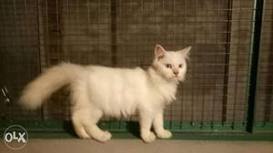 Pure persion Kittens good fur quality pure white
