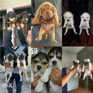 Allahabad supply all breed puppies available