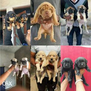 Allahabad supply all breed puppy available