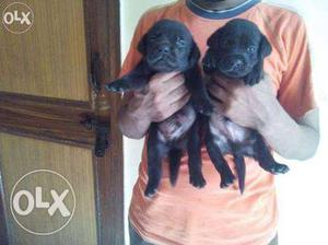Excellent quality labrador puppies black male