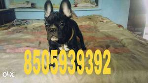 Full show quality french bulldog male pup for
