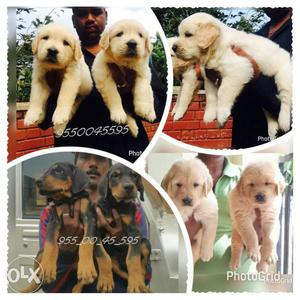 High quality Golden retriever puppies male at