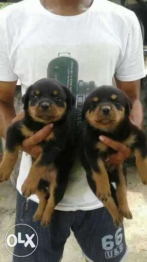 O6 Rottweiler male and female puppies 35 days old