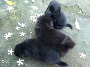 Pomerian puppies, available in white and black