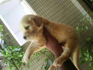 Pure Dilchasab breed golden Retriever puppies