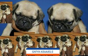 Pure breed fane colour pug puppies available at best price