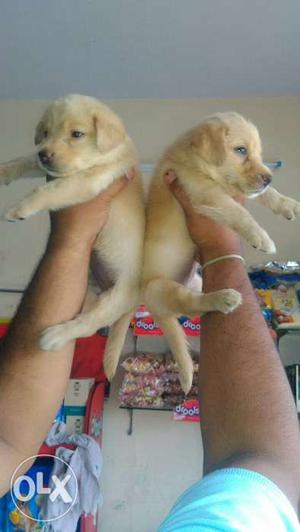 Super quality Labrador puppies available for sale