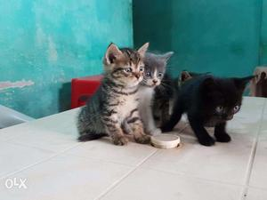 5 kittens Father American Short Hair Mother Persian