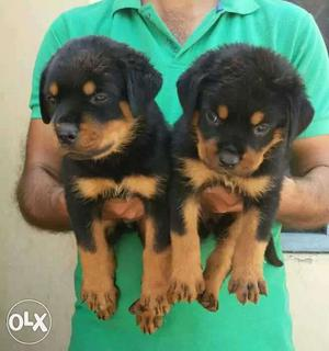 All breed puppies r available according to your