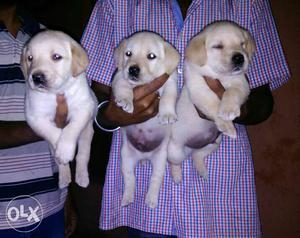 Big head punch face Labrador puppy ready stock