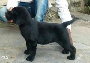 Champion breed black Labrador female pup for