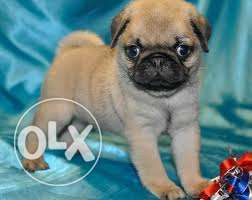 Fawn colour pug Puppies available for sale with paper