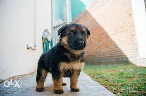 German Shepherd Puppies Available in Vasant Kunj
