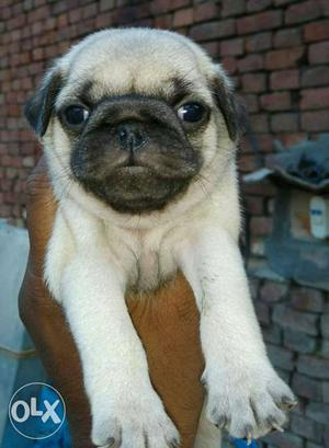 PUG puppies ready to go new home BEST quality pup