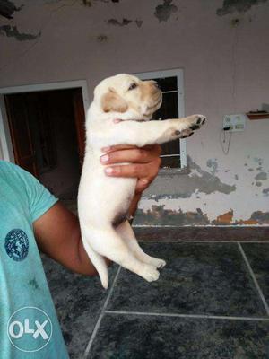 00 High quality Labrador puppy 00