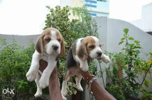 Beagle puppies available with us amazing pet