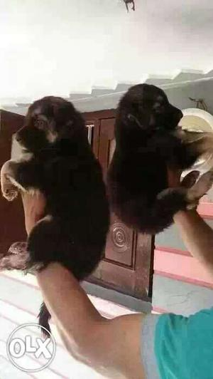 Bhopal Gsd Lab Pom Pug All Breeds Dog Puppies And
