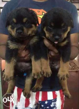 Bhopal:- Gsd Lab Pom Rott All Breed Dog Puppies