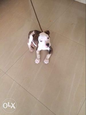 Brindle Black And White American Staffordshire Terrier Puppy