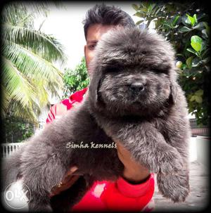 Buy Newfoundland puppies available in Bangalore