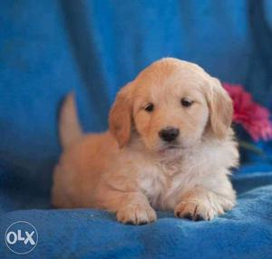Cream female. Golden Retriever Puppies available pure breed