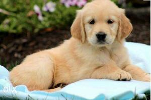 Female. And male Golden Retriever Puppies available pure