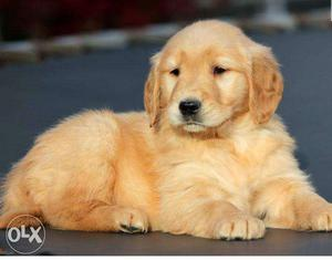 Female. and. male Golden Retriever Puppies available