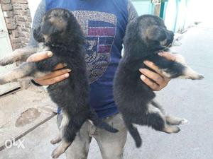 German Shepherd Female available all over India